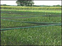 GM crops under cultivation (BBC)