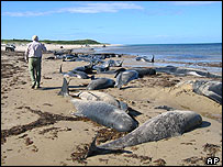 The carcasses of dead dolphins and pilot whales are strewn on a beach on Australia's King Island, off Tasmania state Sunday, Nov. 28, 2004.
