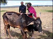 Maasai with emaciated cow   A Kirby