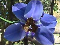 Brazilian Iris growing in Mally's garden