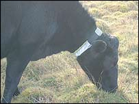 Cow with collar