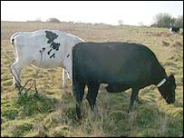 Cows with collar