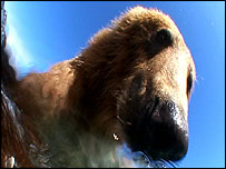 Picture of bear from 'Salmon-cam'