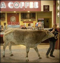 Cow walks in front of coffee bar (PA)
