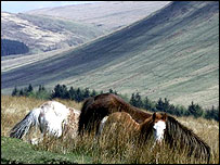 The law also affects ponies in the Brecon Beacons