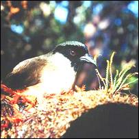 Po'o-uli (malamprosops phaeosoma) Foto:  cortes�a Servicio estadounidense sobre Peces y Vida Salvaje (USFWS , por sus silgas en ingl�s)