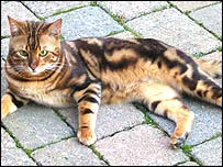 Sisco the Bengal cat