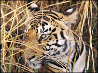 Tiger, Plos Biology