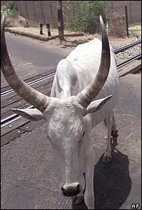 Horned African cow in Nigeria. Archive picture