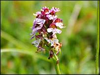 Burnt orchid (BBC)