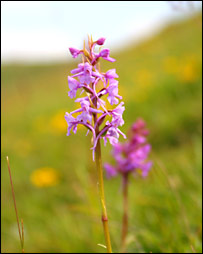 Fragrant orchid (BBC)