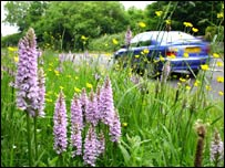 Common spotted-orchids (BBC)