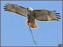 Pale Male carries a twig in flight earlier this year in New York