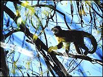 Capuchin monkey, Moura