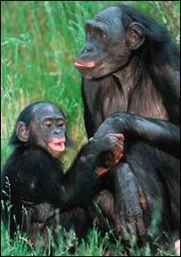 Bonobo (WWF-Canon/Martin Harvey)