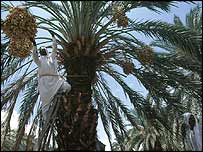 File photograph of a date palm