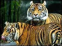 Sumatran tigers   AP