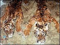 Tiger cub skins   Debbie Martyr/FFI