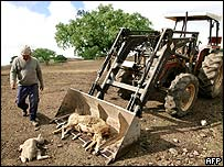 Farmer picks up dead sheep in Portugal