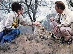 Elizabeth Taylor (L) stroking a cheetah with Richard Burton (R)