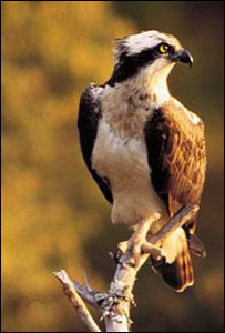 Osprey perched on branch