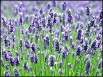 Image of lavender