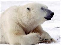 Polar bear, PA
