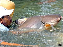 Cambodia men release a Mekong giant catfish in the Phnom Penh river, 15 June 2005. 