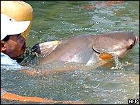 Cambodia men release a Mekong giant catfish in the Phnom Penh river, 15 June 2005.