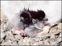 Adele penguin chicks stand between their mother's legs in Cape Royds
