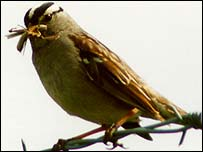 White-crowned sparrow (Marcus G Martin)