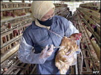 Injecting a chicken against bird flu