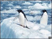 Pingüinos Adela en la Antártica.