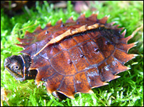 Spiny turtle baby, Durrell Wildlife