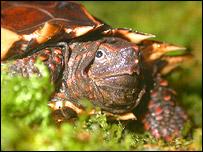 Spiny turtle, Durrell Wildlife