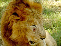 Cross bred lion at Punjab's Chhatbir Zoo