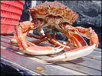 Spider crab, BBC