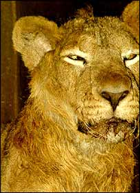 Lion at Punjab's Chhatbir Zoo