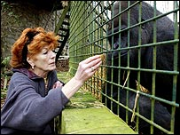 Actress Rula Lenska feeds Kishum the Silverback Gorrilla