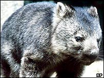 Australian wombat (file photo)