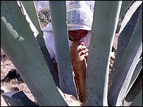 Felipa Peres Angeles sucks the liquid from a maguey cactus for fermenting into pulque