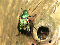 Noble chafer (Image: Matt Smith)