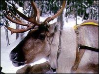 Reindeer (BBC)