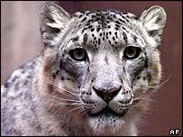 Snow leopard   AP