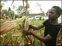 Christine Peresuh harvests maize in her garden in Harare, Zimbabwe