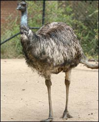 Emu pictured at Sydney Zoo