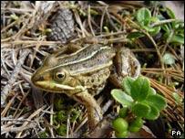 Northern pool frog
