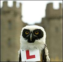 Bandit the owl