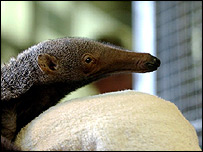 Baby male anteater born at London Zoo born in July
