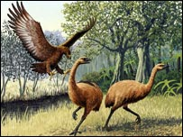 Haast's eagle hunted moa, the herbivorous, flightless birds of New Zealand [now also extinct], which weighed up to 200kgs (31st 7lb)